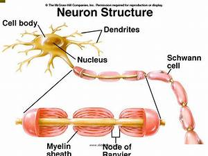 The Neuron - Presentation Biology