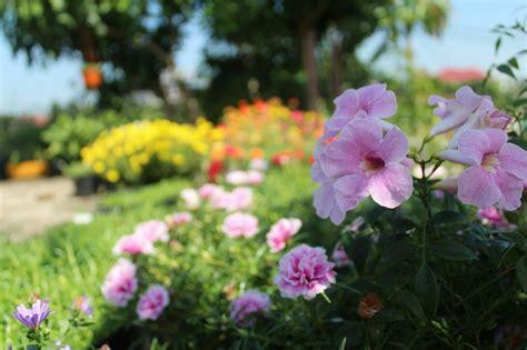 rumah bunga neisha  cantik stefanot tanaman hias