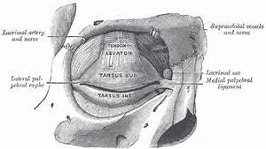 Lateral palpebral raphe - Wikipedia