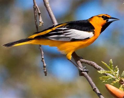 world beautiful birds bullock s orioles birds