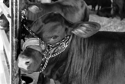 Cow Cattle Market Angus Farm Bull Rural