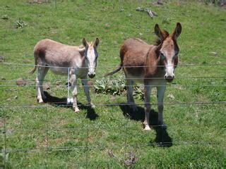 sale donkeys