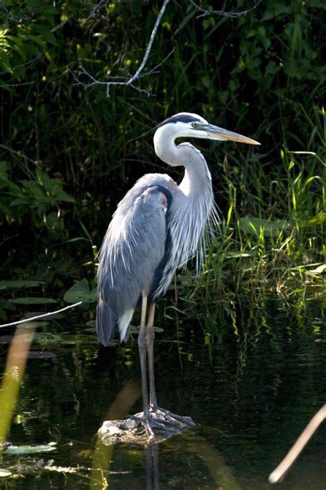 heron bird almanac park sounds rodney national service