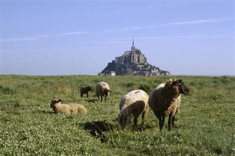 abbaye du mont michel et moutons sur les pr 233 s sal 233 s fotoprint philippe berth 233 bij
