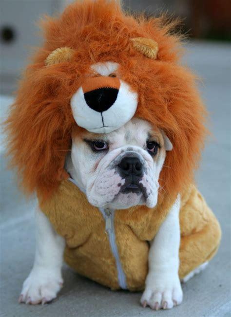 124 best bulldog images on
