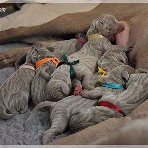 ️ Baby Weimaraners ~ the only breed born with stripes. | # ...