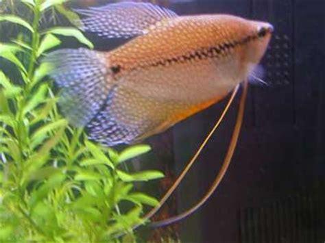 pearl gourami care size lifespan tankmates breeding