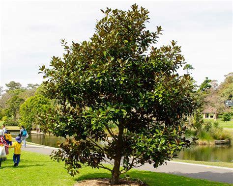 magnolia tree australia gardensonline magnolia grandiflora