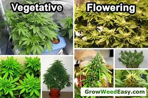 The Seven Key Stages Of The Marijuana Plant Life Cycle