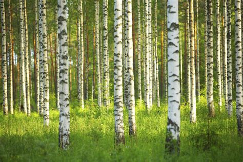 Birch Forest  Wall Mural & Photo Wallpaper Photowall