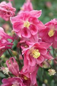 Plant Gaura, Gaudi® Red Garden & Backyard Pinterest