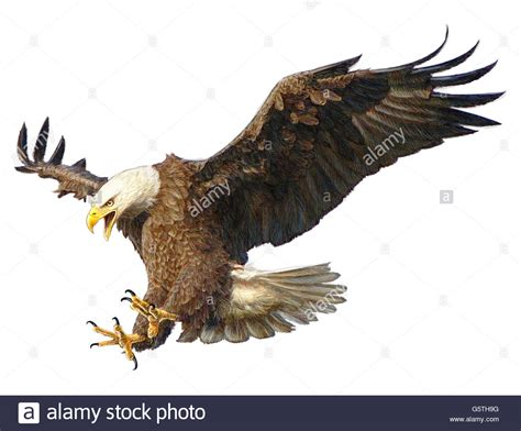 bald eagle landing swoop draw and paint color on