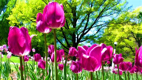 garden tulips flower jpg hi luminous purple tulips in a flower garden and sunny green trees under a blue sky photograph by
