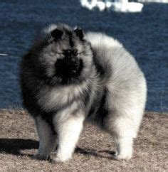 keeshond images animaux dog lovers doggies