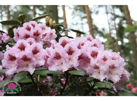 Latvijas stādi - Rhododendron 'Cīrava' - mūžzaļais ...