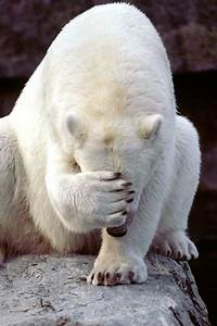 View polar bear funny pictures | DAILY NEWS  Funny