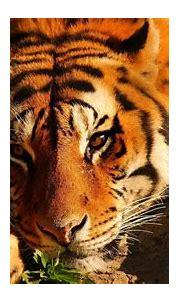 Download Wallpaper 1920x1080 tiger, eyes, brooding, stones ...