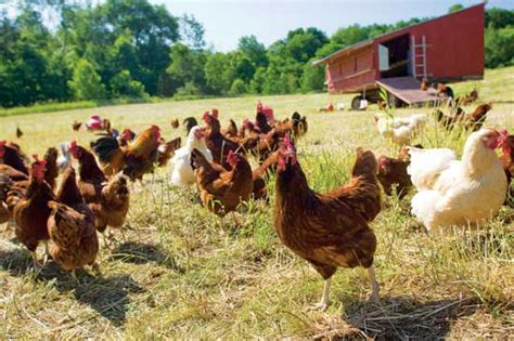 raising broiler chickens homesteading and livestock earth news