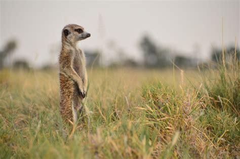 meerkats  quad biking  makgadikgadi national park