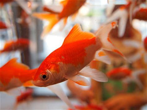 les poissons rouges en aquarium clinique veterinaire belais