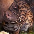 qapan 分享 罕見巽他雲豹首度在婆羅洲森林內被拍攝到 這是過年期間唯一有關虎類的好消息! http://www.libertytimes ...