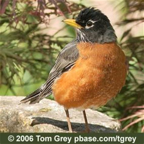 how long does a robin live birdnote