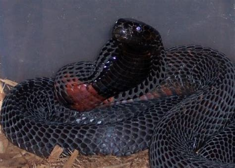 black necked spitting cobra facts  pictures