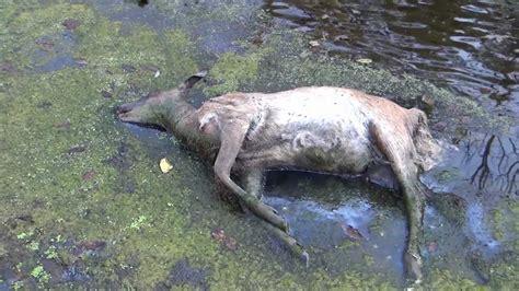 Blue Tongue Video Of Dead Deer In Michigan