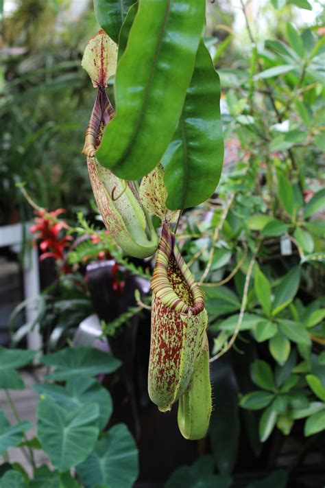 gallery carnivorous plant resource
