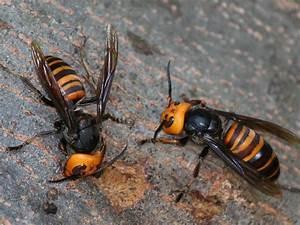 Asian Giant Hornet Sting