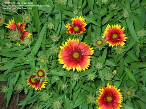 Plantfiles Pictures Gaillardia, Blanket Flower, Indian