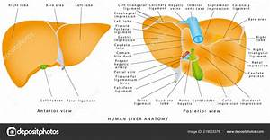 Anatomy Of Gallbladder And Liver