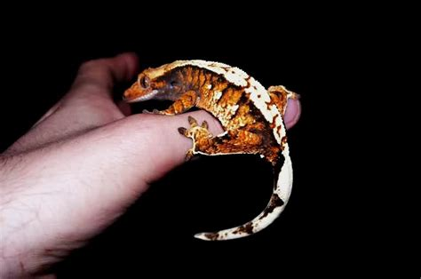Halloween Crested Gecko Morph by Tri Colour Partial And Pinners And Red Crested Gecko S
