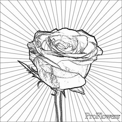 Coloring Rose Roses Flower Pages Printable Single