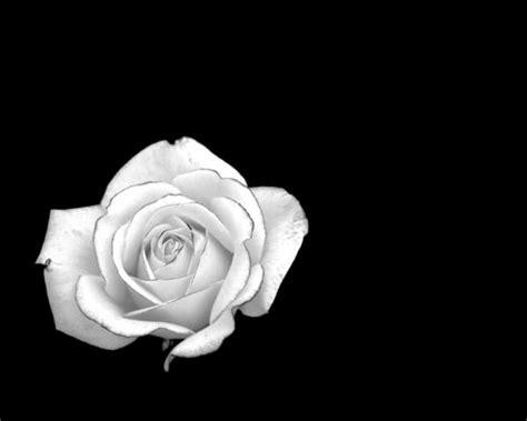 rose  negative space pentax user photo gallery