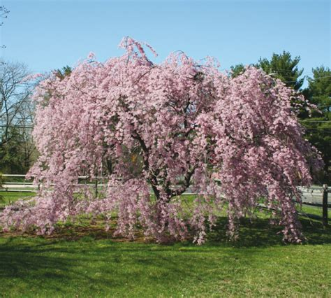weeping cheery tree spreading beauty plant a weeping cherry tree this spring roanoke valley home magazine