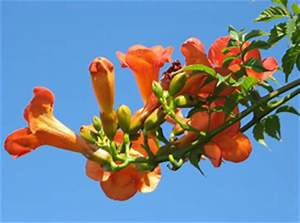Schmucklilie überwintern Gelbe Blätter : trompetenblume campsis pflege vermehren und berwintern ~ Eleganceandgraceweddings.com Haus und Dekorationen