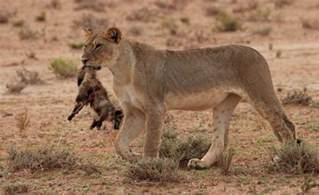 Fox Kills Lion