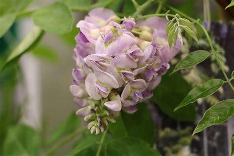 hortensien erfroren was tun blauregen im k 252 bel fabelhaft blauregen glyzinie ist erfroren was tun bei frostsch 228 den