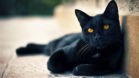 black cats beautiful cat wallpapers hd pictures one hd wallpaper pictures backgrounds free download