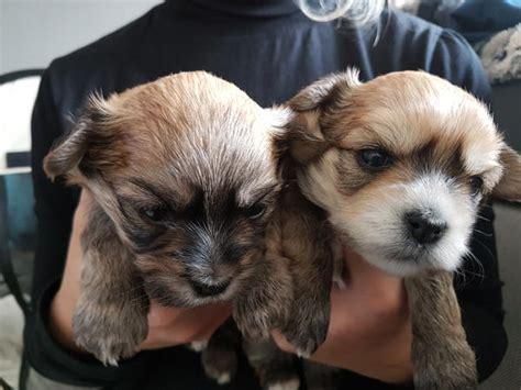 yorkshire malteser mix  dresden hunde kaufen und