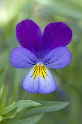 delicate flower  viola tricolor heartsease  wild