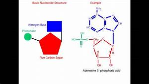 What Is The Structure Of A Nucleotide