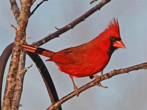 birds   world cardinals  tanagers cardinalidae