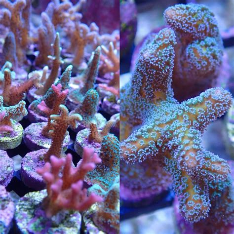 hot coral frags coming  reefstock australia reef