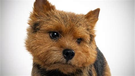 norwich terrier dog breed selector animal planet