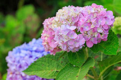 eichenblatt hortensie schneiden hortensie pflanzen jahreszeit hortensie endless summer