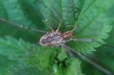 Phalangium opilio (Hornweberknecht) - Kleintiergalerie