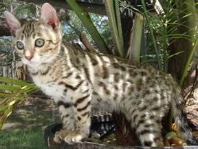 bengal cats for bengal cats cats