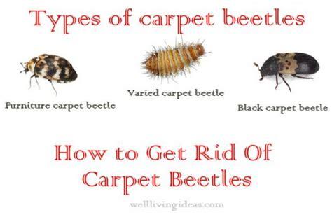 effective    ways   rid  carpet beetles